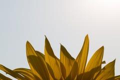 Schließen Sie oben von der Sonnenblume auf Feld Lizenzfreie Stockfotos