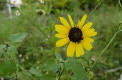 Schließen Sie oben von der Sonnenblume, die durch grüne Blätter umgeben wird lizenzfreies stockbild