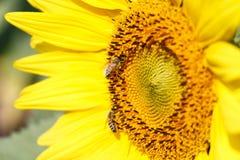 Schließen Sie oben von der Sonnenblume und von der Biene bei Chiangrai, Thailand Lizenzfreies Stockbild