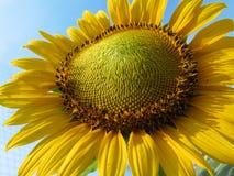 Schließen Sie oben von der Sonnenblume von der niedrigen Winkelsicht Stockfoto