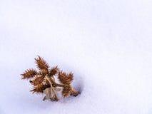 Schließen Sie oben von der stacheligen Samen-Hülsen-Gruppe Lizenzfreie Stockfotografie