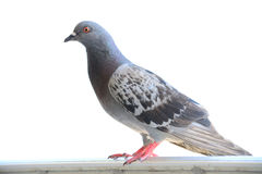 Schließen Sie oben von der Taube Stockfotos