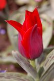 Schließen Sie oben von der Tulpe Lizenzfreie Stockfotografie