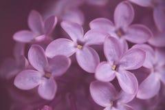 schließen Sie oben von der ultravioletten lila Blütenniederlassung im Weinlesegespür Lizenzfreie Stockfotografie
