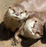 Schließen Sie oben von der Umarmung von schläfrigen orientalischen kurzen gekratzten Ottern stockfotos