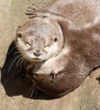 Schließen Sie oben von der Umarmung von schläfrigen orientalischen kurzen gekratzten Ottern lizenzfreie stockfotografie