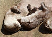 Schließen Sie oben von der Umarmung von schläfrigen orientalischen kurzen gekratzten Ottern stockfotografie