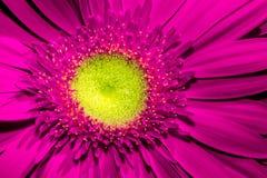 Schließen Sie oben von der violetten Gerberablume mit gelber Mitte und den schönen weichen Blumenblättern lizenzfreies stockfoto