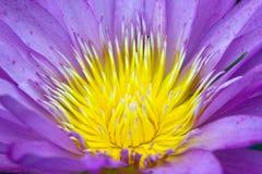 Schließen Sie oben von der violetten Wasserlilie Stockfotografie