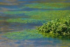 Schließen Sie oben von der Wasser-Kresse Stockfoto