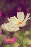 Schließen Sie oben von der weißen Kosmosblume Stockfotos