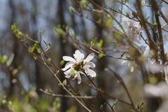 Schließen Sie oben von der weißen Magnolienblume Stockbild