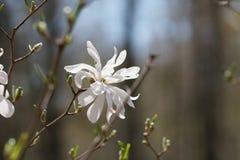 Schließen Sie oben von der weißen Magnolienblume Lizenzfreie Stockbilder