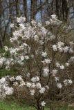 Schließen Sie oben von der weißen Magnolienblume Lizenzfreies Stockbild