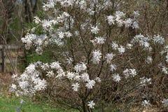 Schließen Sie oben von der weißen Magnolienblume Stockfotografie