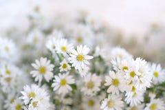 Schließen Sie oben von der weißen Schneiderblume Lizenzfreies Stockbild