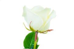 Schließen Sie oben von der Weißrose, die auf weißem Hintergrund lokalisiert wird Stockfotos