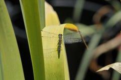 Schließen Sie oben von der weiblichen blauen Dasher-Abstreicheisen-Libelle auf einem Blatt Stockfotografie