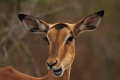 Schließen Sie oben von der weiblichen Impala in Nationalpark Kruger Lizenzfreies Stockfoto