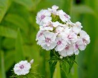 Schließen Sie oben von Dianthus plumarius lizenzfreies stockbild