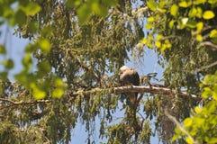 Schließen Sie oben von Eagle, das auf einer Niederlassung in den Bäumen stillsteht Stockbilder