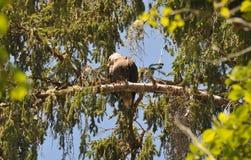Schließen Sie oben von Eagle, das auf einer Niederlassung in den Bäumen stillsteht Lizenzfreie Stockbilder