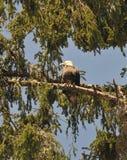 Schließen Sie oben von Eagle, das auf einer Niederlassung in den Bäumen stillsteht Lizenzfreies Stockfoto