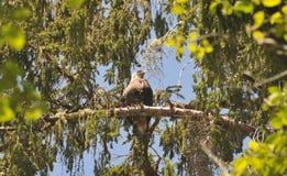 Schließen Sie oben von Eagle, das auf einer Niederlassung in den Bäumen stillsteht Lizenzfreie Stockfotografie