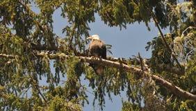 Schließen Sie oben von Eagle, das auf einer Niederlassung in den Bäumen stillsteht Stockfotografie