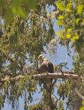 Schließen Sie oben von Eagle, das auf einer Niederlassung in den Bäumen stillsteht Stockbild