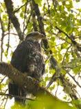 Schließen Sie oben von Eagle, das auf einer Niederlassung in den Bäumen stillsteht Lizenzfreies Stockbild