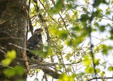 Schließen Sie oben von Eagle, das auf einer Niederlassung in den Bäumen stillsteht Stockfotos