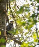 Schließen Sie oben von Eagle, das auf einer Niederlassung in den Bäumen stillsteht Lizenzfreie Stockfotos