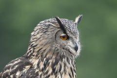 Schließen Sie oben von Eagle Owl, Bubo Bubo Lizenzfreie Stockbilder