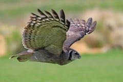 Schließen Sie oben von Eagle Owl im Flug Lizenzfreies Stockbild