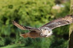 Schließen Sie oben von Eagle Owl im Flug Stockfotos