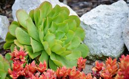 Echeveria Succulent Lizenzfreies Stockbild