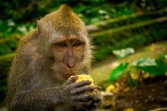 Schließen Sie oben von ein langschwänzigen Makaken Macaca fascicularis im Ubud-Affen Forest Temple, der einen Pfeilermais unter V Lizenzfreies Stockbild