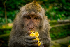Schließen Sie oben von ein langschwänzigen Makaken Macaca fascicularis im Ubud-Affen Forest Temple, der einen Pfeilermais unter V Lizenzfreie Stockfotos