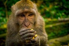 Schließen Sie oben von ein langschwänzigen Makaken Macaca fascicularis im Ubud-Affen Forest Temple, der einen Pfeilermais unter V Stockbilder