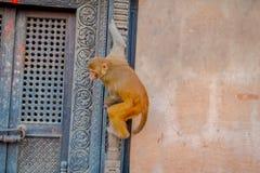 Schließen Sie oben von einem Affen, der am Freien bei Swayambhu Stupa, Affe-Tempel, Kathmandu, Nepal spielt Lizenzfreie Stockfotos