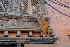 Schließen Sie oben von einem Affen, der am Freien bei Swayambhu Stupa, Affe-Tempel, Kathmandu, Nepal spielt Stockbild