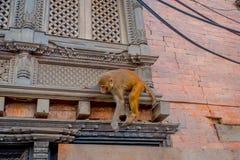Schließen Sie oben von einem Affen, der am Freien bei Swayambhu Stupa, Affe-Tempel, Kathmandu, Nepal spielt Stockbilder