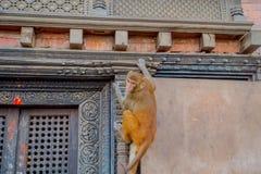 Schließen Sie oben von einem Affen, der am Freien bei Swayambhu Stupa, Affe-Tempel, Kathmandu, Nepal spielt Lizenzfreie Stockfotografie