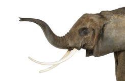 Schließen Sie oben von einem afrikanischen Elefanten, der seinen Stamm anhebt, lokalisiert Lizenzfreies Stockbild