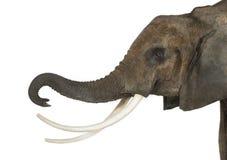 Schließen Sie oben von einem afrikanischen Elefanten, der seinen Stamm anhebt, lokalisiert Lizenzfreie Stockbilder