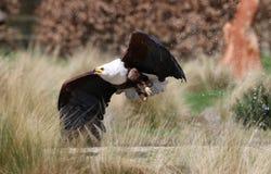 Schließen Sie oben von einem afrikanischen Meer Eagle, das unten swooping ist Lizenzfreie Stockfotos