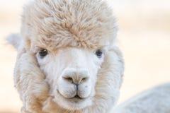 Schließen Sie oben von einem Alpaka Stockbild