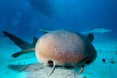 Schließen Sie oben von einem Ammenhai lizenzfreie stockfotos