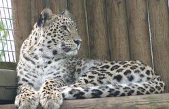 Schließen Sie oben von einem Amur-Leopardjungen stockfotografie
